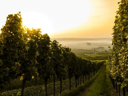 Voyage viticole